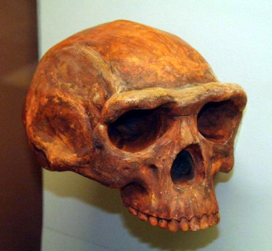 Czaszka Homo erectus.