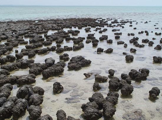Stromatolity z Zatoki Rekinów (Australia).