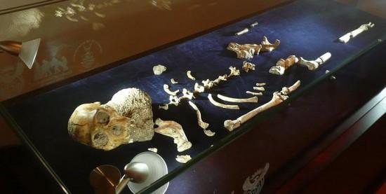 Australopithecus sediba.