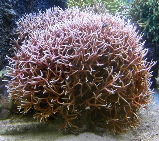 Koralowiec Seriatopora hystrix.