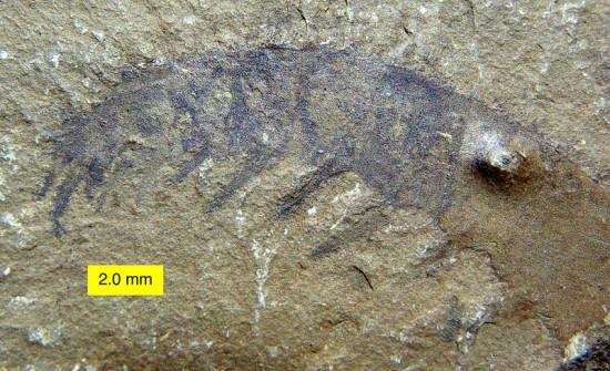 Odnóża Anomalocarisa.