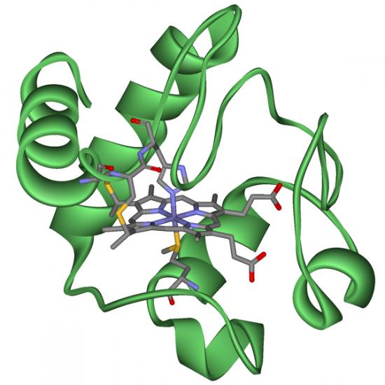 Cytochrom c.