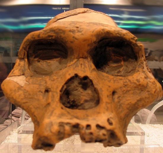 Australopithecus africanus.