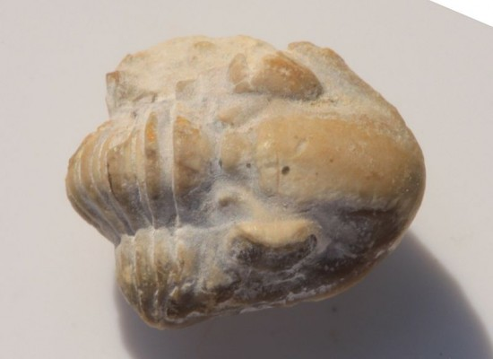 Trylobit Ditomopyge.
