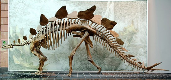 Szkielet stegozaura.