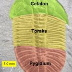Cefalon, toraks i pygidium trylobita.