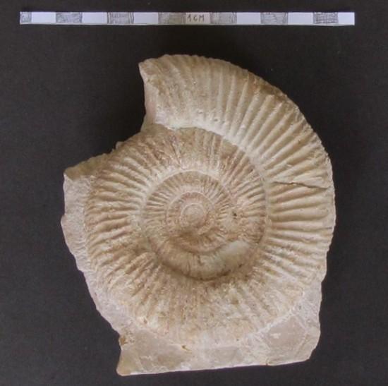 Amonit Perisphinctes.