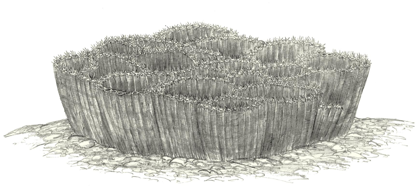 Koralowce kolonijne z grupy denkowców i rodzaju Halysites (rys. Jakub Kowalski).