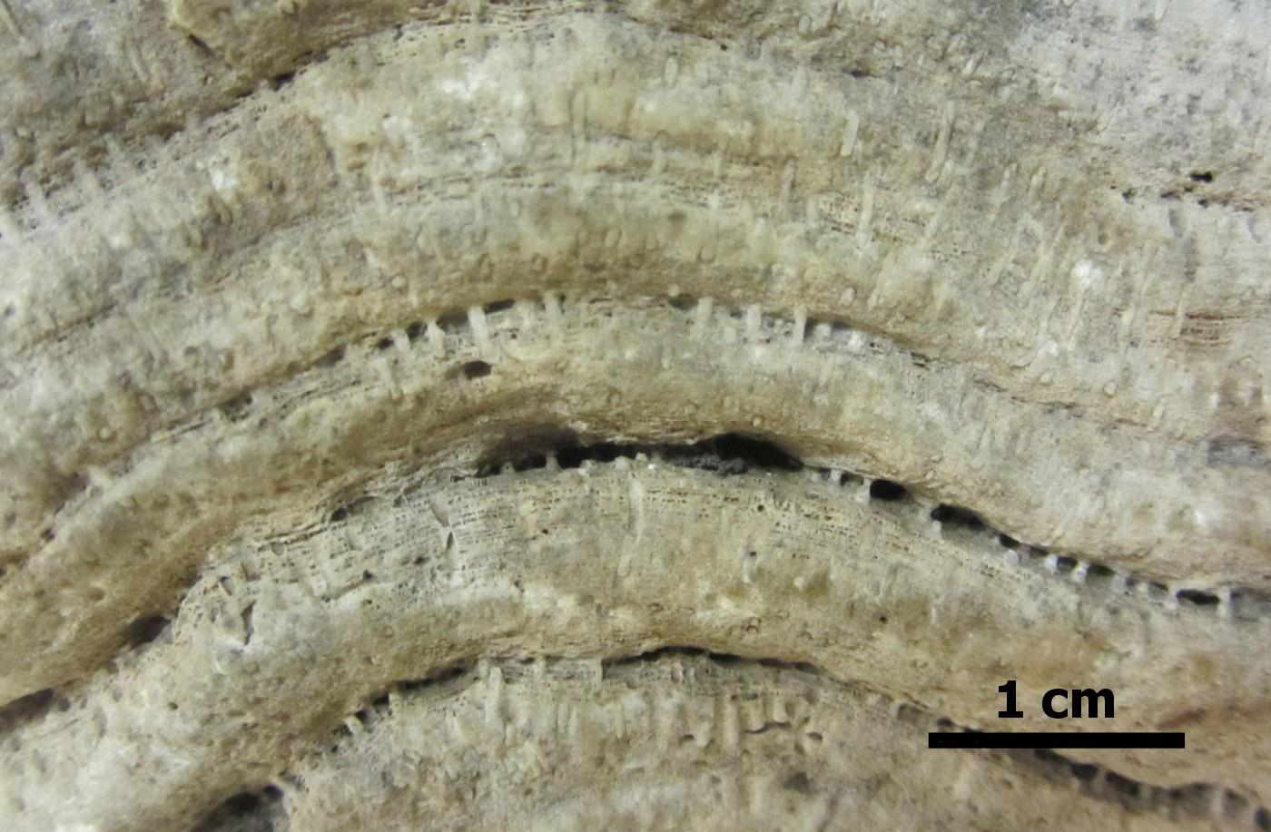 Skamieniałość gąbki z grupy stromatoporoidów, znalezionej w osadach polodowcowych północnej Polski.