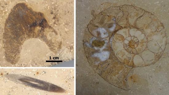 Przekroje przez skamieniałości jurajskie: amonita, belemnita i gąbkę.