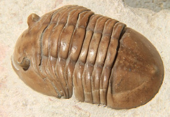 Trylobit Asaphus.