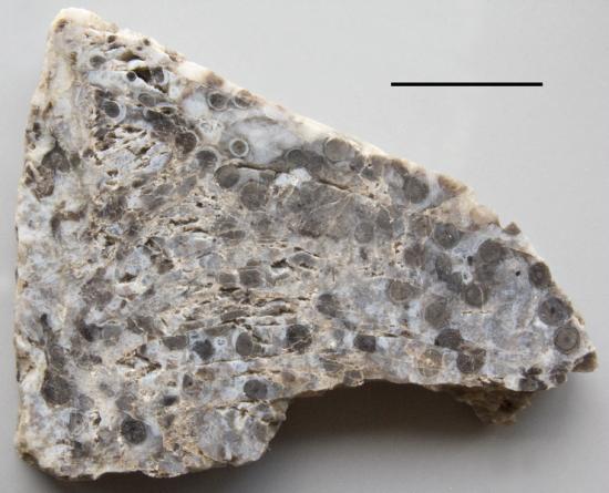 Czert ze skamieniałościami ryniofitów.
