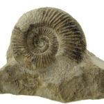 Amonit jurajski (z Jury Krakowsko-Częstochowskiej).