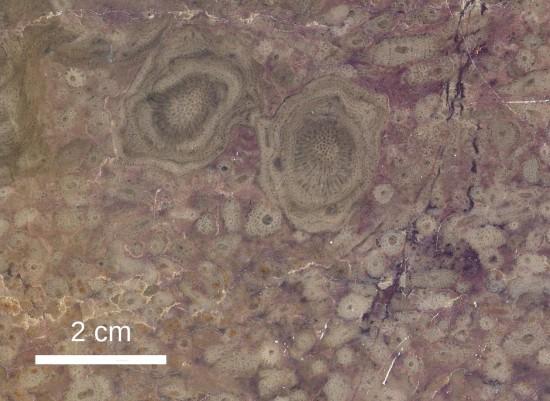 Wapień dewoński z Bolechowic koło Kielc, z koralowcami i amfiporami.