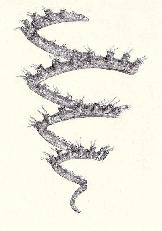 Rekonstrukcja sylurskiego graptolita (rodzaj Spirograptus).
