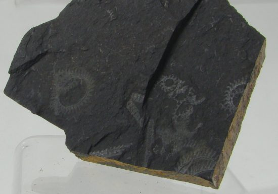 Sylurskie graptolity z Sudetów.