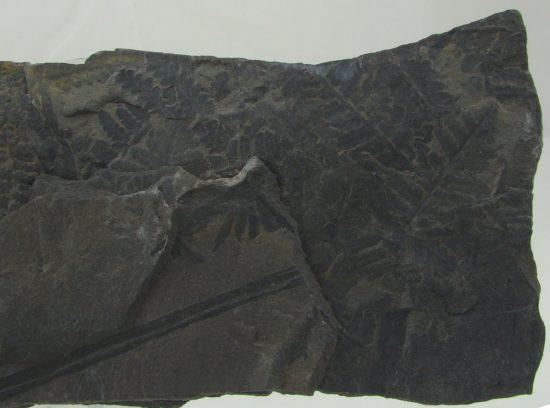 Skamieniałości roślin karbońskich.