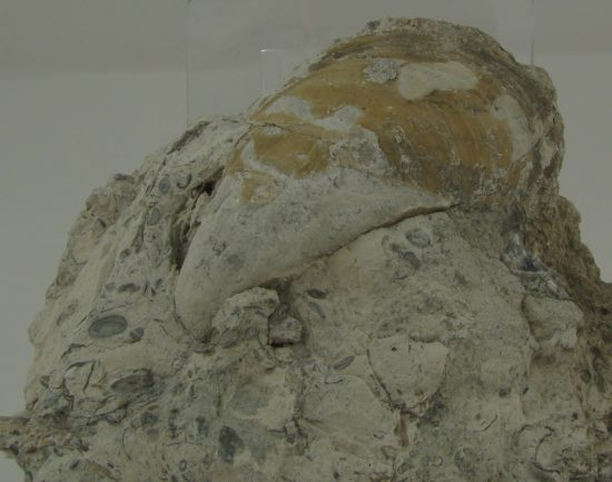 Skamieniałość małża z górnej jury, kamieniołom Małogoszcz na zachód od Kielc.