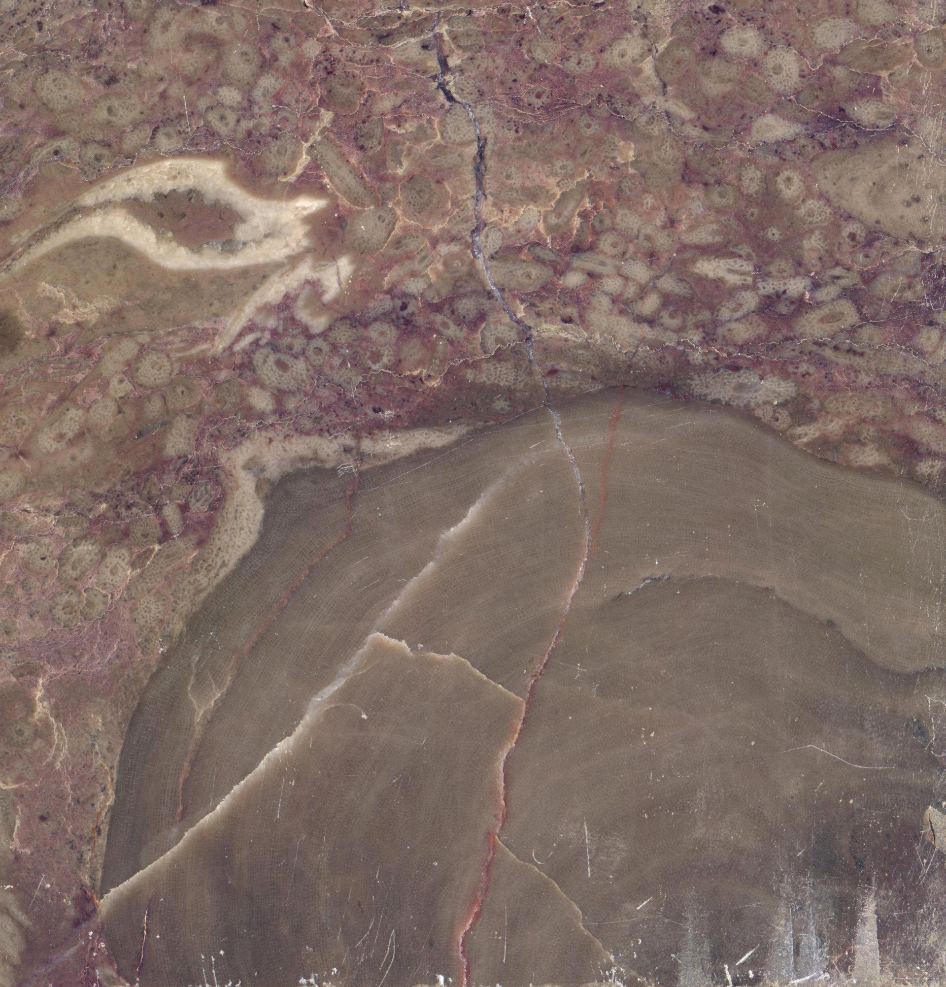 Skamieniałość stromatoporoida w dewońskim wapieniu z Bolechowic koło Kielc.