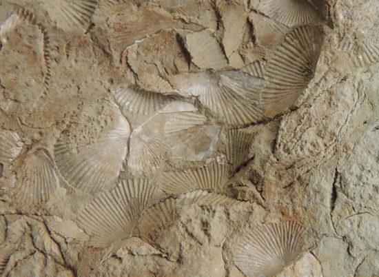 Skamieniałości ramienionogów z syluru (w głazie narzutowym).