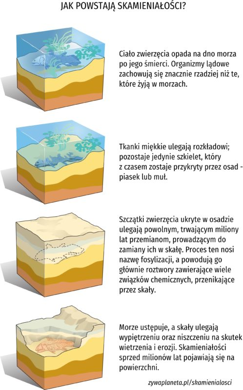 Schemat powstawania skamieniałości.
