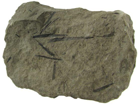 Skamieniałości graptolitów z rodzaju Monograptus.