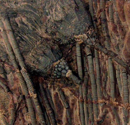 Skamieniałości kielichów i łodyg liliowców z syluru Maroka.