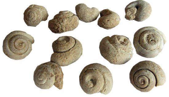 Skamieniałości ślimaków z Maroka.