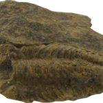 Trylobit z rodzaju Phacops pochodzący z dewonu Gór Świętokrzyskich.