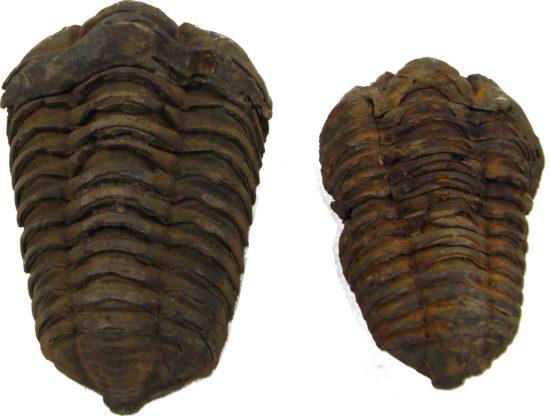 Ordowickie trylobity Flexicalymene z Maroka.