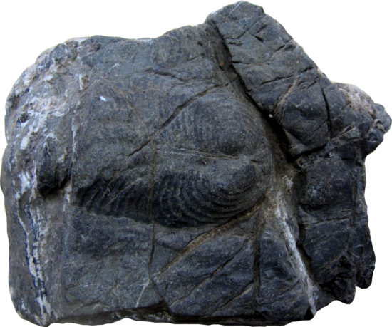 Skamieniałość małża z grupy inoceramów w piaskowcu fliszowym Karpat zewnętrznych (tak zwane warstwy inoceramowe).
