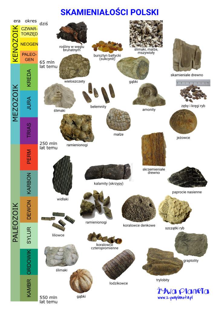 Skamieniałości Polski - plakat. Blisko trzy grup skamielin wraz z ich wiekiem w tabeli stratygraficznej.
