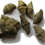 Skamieniałości ramienionogów z grupy spiriferidów (rodzaj Mucrospirifer) ze stanowiska Skały koło Nowej Słupi (Góry Świętokrzyskie).