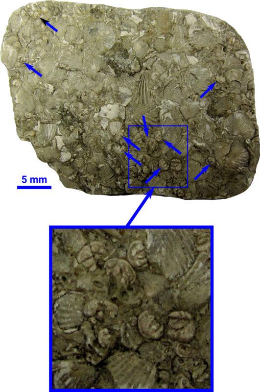 Skamieniałe małżoraczki i ramienionogi w wapieniu z okresu sylurskiego, znalezionym w okolicach Poznania.